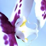 Orchid: Eros