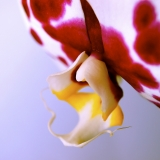 Orchid: Psyche