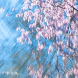 Magnolia 2018.jpg